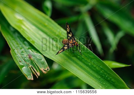 Garden Tiger Moth Amata Huebneri On Grass
