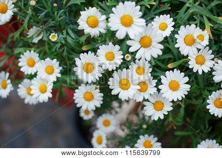 Bouquet Of Camomiles. Natural Cute Background