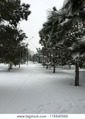 Winter Coniferous Forest