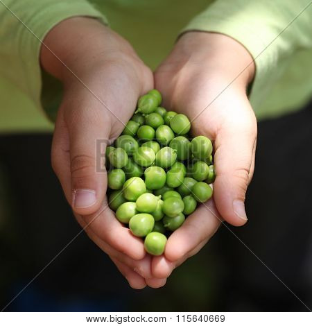 Children's Hands Holding  Fresh Green Peas.