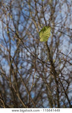 solitary leaf on a twig