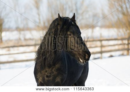 Black Frisian Horse In Winter