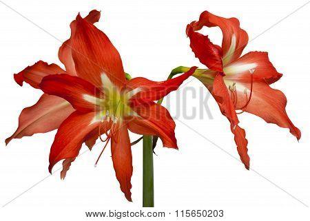 Hippeastrum flower bud