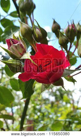 Roses bush, background