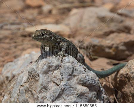 Dragonera Lizards Podarcis Lilfordi