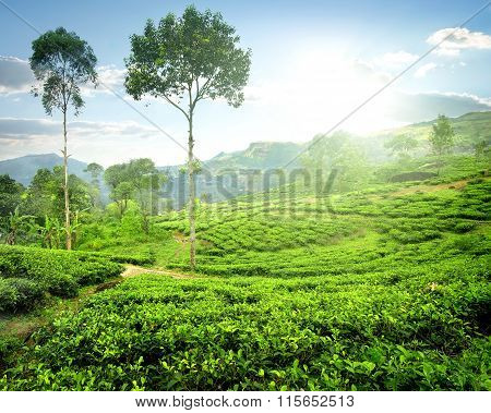 Fog over tea plantations
