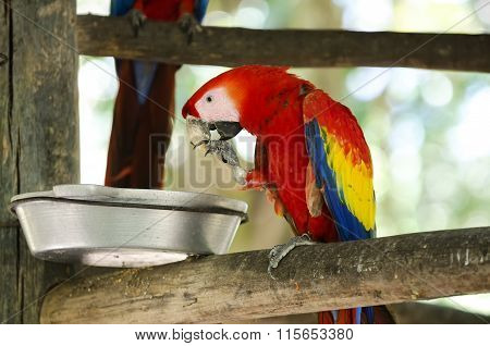 Hungry Scarlet Macaw Eating Food From Dish.