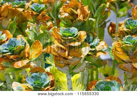 Garden of growing fresh nature orange and green mini cabbage farming field, cabbage bazooka