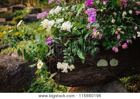 Bougainvillea Flowers In White And Pink
