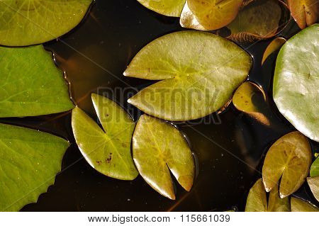 Water Lily Leaf Nature Background