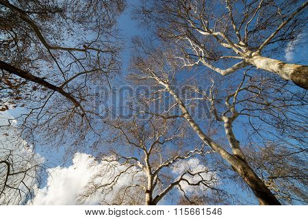 Plane Trees With Blue Sky With White Clouds Background