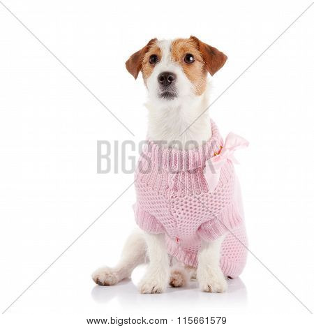 Small Doggie Of Breed A Jack Russell Terrier In A Pink Sweater