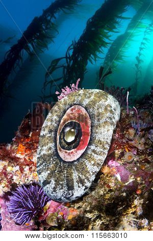 A California reef scene shows a keyhole limpet framed by beautiful kelp and a color reef.