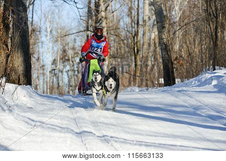 dog sledding with husky
