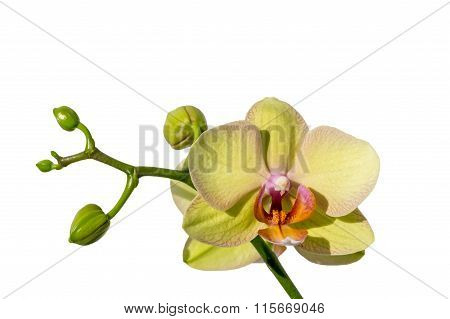 Beautiful yellow orchid on white background