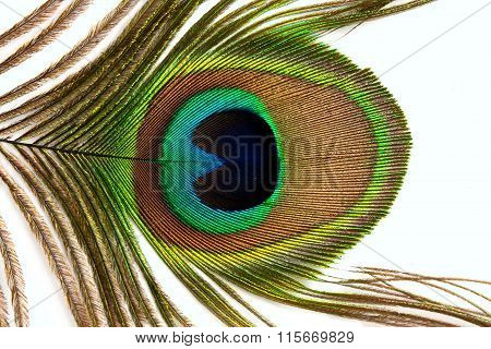 Real Peacock Tail Feather Close Up Isolated On White Background