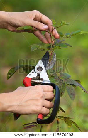 Pruning Rose With Secateurs, Closeup