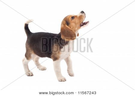Beagle Puppy Barking