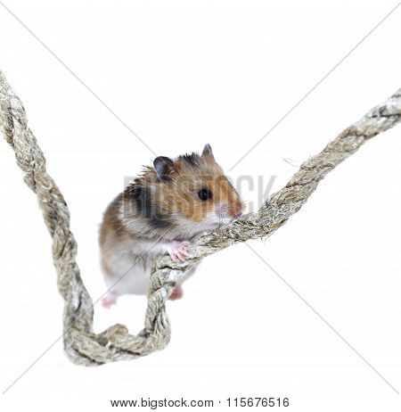 Brown Syrian Hamster Climbing On A Rope
