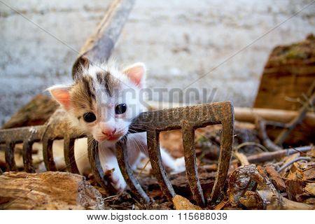Cute White Kitten On The Rusty Rake