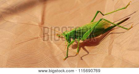 Mr. Green Grasshopper