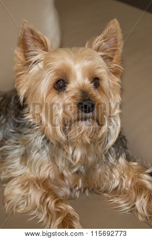 Beautiful And Nice Yorkshire Terrier Resting On A Couch