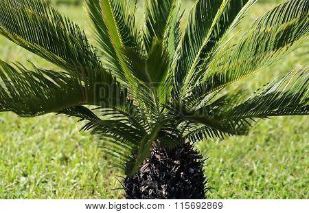 Sago Cycad Palm Tree