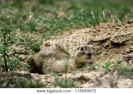 Gopher Closeup In A Hole Looking Curiously