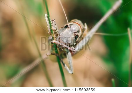 Macro Photo Of Grasshopper Sitting On The Grass