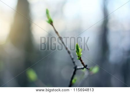 Green Buds In Bloom At Springtime Sunset