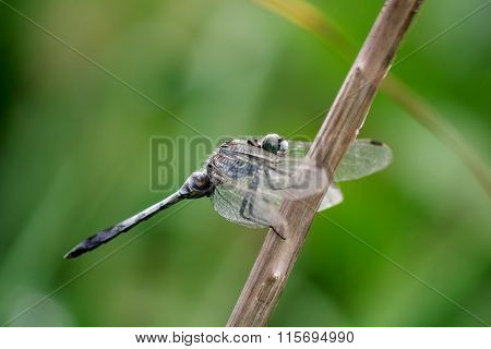 Dragonfly Sitting On Branch With Deflated Wings