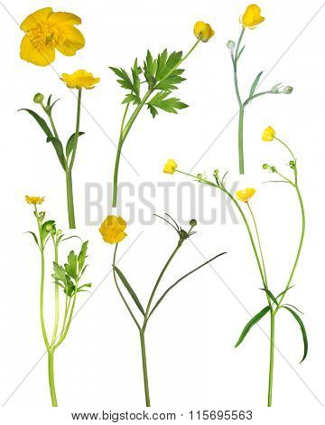 wild golden buttercup flowers isolated on white background
