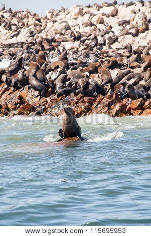 A Seal Sitting On A Rock Near Seal Island, Gansbaai
