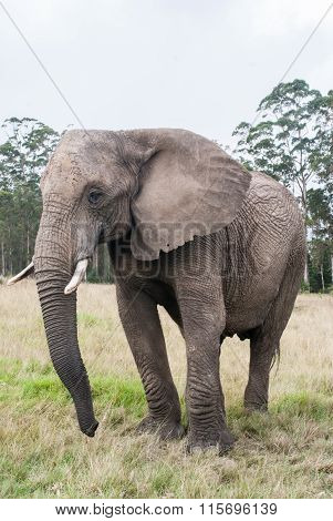 An elephant in a game reserve