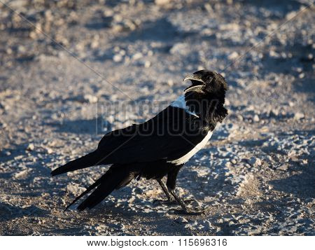 Pied African crow
