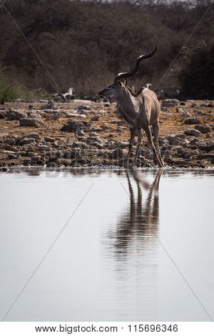Greater male kudu being surprised at waterhole