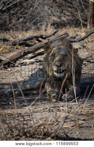 Yong male lion