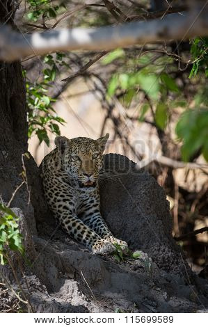 African Leopard waiting in shade