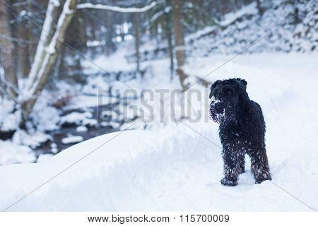 Schnauzer Dog In Winter Forest