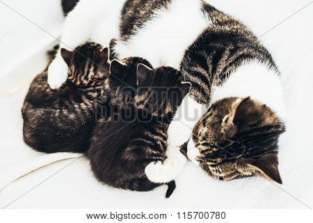 Mother Cat Nursing Her Babies