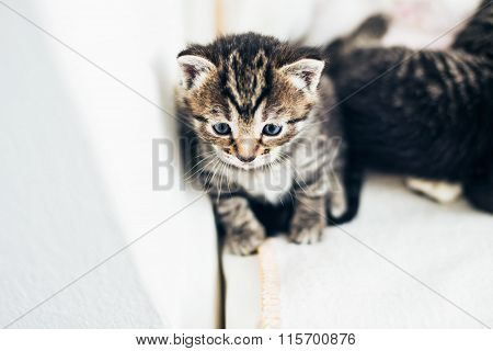 Adorable Pensive Tiny Tabby Kitten