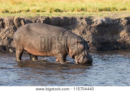 Hippo walking in river