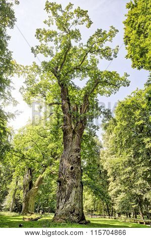 Hdr Shot Of An Very Old Oak