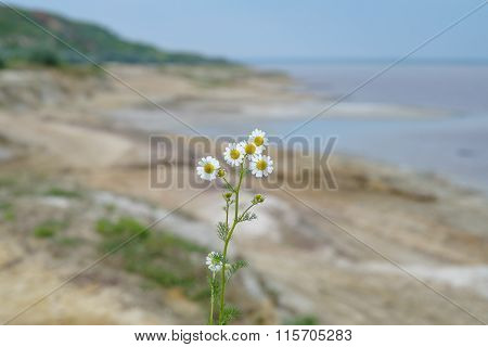 Camomiles In The Man's Hand On Blue Sky Background