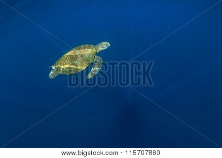 Green Sea Turtle (Chelonia mydas) swimming in clear blue ocean