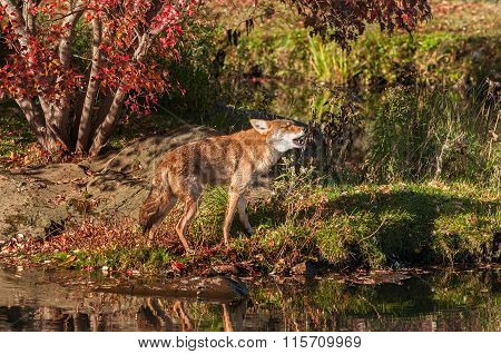 Coyote (canis Latrans) Walks And Howls