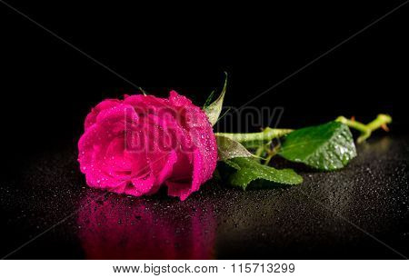 One rose with dew drops on a black background
