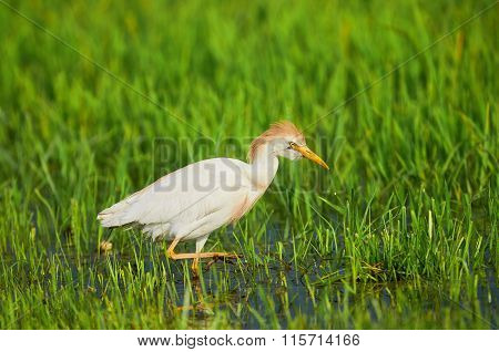 Cattle Egret In Paddy Field
