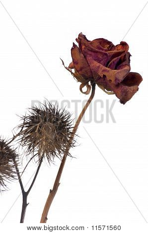 Wilting Rose And  Thistle On White Background