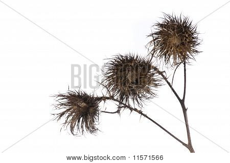 Wilting Thistle With Spines On White Background